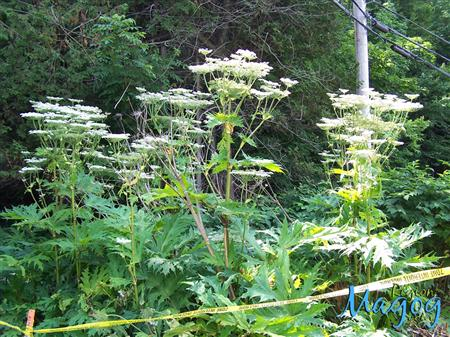 Giant hogweed near Magog Quebec
